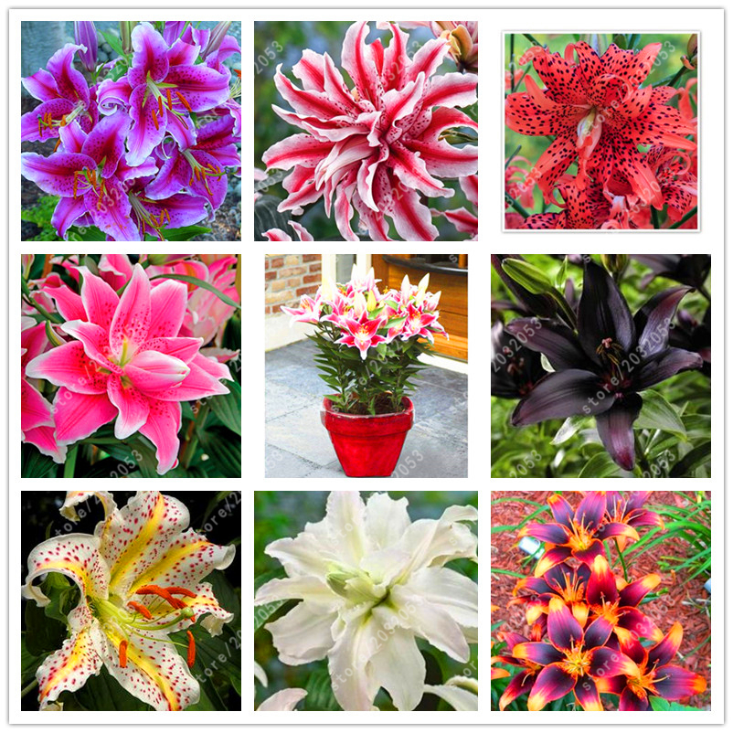 100 pcs/bag perfume lily seeds, (not lily bulbs), bonsai flower seeds potted plant lilium flower home garden easy grow