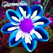 100 Pcs Rare Blue And White Point Dahlia Seeds Beautiful Perennial Flowers Seeds Dahlia For Diy Home Garden Sementes Bonsai