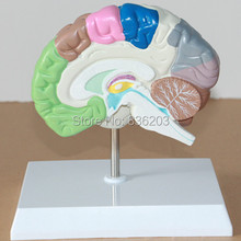 Human Brain Cross-Section Half Model Life size anatomy skeleton dental anatomical brain anatomia Exploded skull(China)