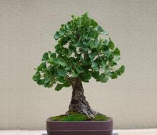 Maidenhair Fossil Tree Gingko Ginkgo Biloba Bonsai Seeds, Professional Pack, 1 Seeds / Pack, Yellow Ornamental Leaves