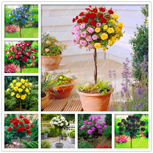100pcs/bag rare Rose tree Seeds, bonsai flower seeds DIY Home Garden Potted Balcony & Yard Flower Plant(China)