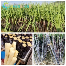 100 Seeds / Pack Rare Sugar Cane Seeds Fruit Tree Bonsai Plants For Vegetable And Fruits Garden Rich In Vitamin Food Sementes