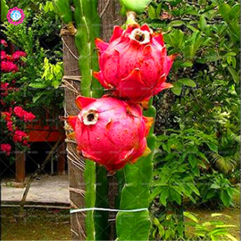 HTB151oJrfuSBuNkHFqDq6xfhVXa4 - 100pcs Dragon fruit Seeds Dwarf Fruit Trees Bonsai