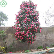 10 pcs / bag, Camellia seeds,Camellia japonica,potted plants, planting seasons, flowering plants Home Garden decorations p14(China)