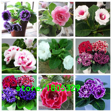 Hot Sale Many varieties Can Be Choose Gloxinia Seeds Perennial Flowering Plants Sinningia Speciosa Bonsai Balcony Flower 100 PCS