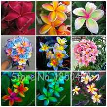 Plumeria Hawaiian Frangipani Flower For Wedding Party Decoration Romance Egg Flowers Home Garden 100pcs seeds(China)