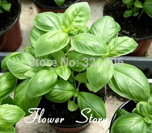 Free shipping 100 Large Leaf Basil Seeds- fragrant herb, cooking essentials  OCIMUM BASILICUM HERBS  big promotion