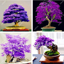 100% True Japanese Purple Maple Bonsai Tree Cheap Seeds for Indoor Plant Can Put on Office Desk, 10Pcs/Pack, Natural Growth(China)