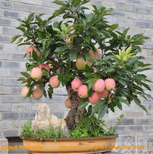 100 Seeds Bonsai Apple Tree Seeds rare fruit bonsai tree-- indoor plant for home garden via hongkong post airmail(China)