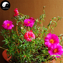 Buy Portulaca Grandiflora Flower Seeds 400pcs Plant Chinese Sunflower Pine Peony