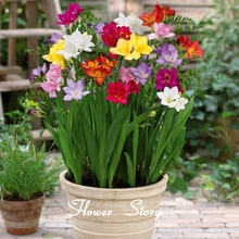 Colorful freesia seeds, DIY flower plants, decorative garden, improve the environment, optimize the air(China)