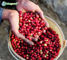 Coffee Bean Seeds, ARABICA COFFEE Plant (Coffea Catura Arabica) SEEDS 20seeds/lot