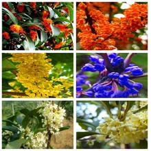 Osmanthus flower seeds seedlings potted plant seeds Perennial osmanthus fragrans seeds for home garden 5seeds
