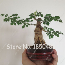 20 Ash Tree Seeds Bonsai Seeds Green Tree Seeds for DIY Home Garden Free Shipping