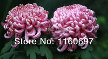 Home &garden Flower seeds purple chrysanthemum Seeds, 300pcs flower Seeds sementes de flores for home casa garden plants gigt