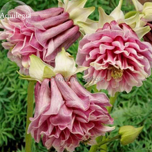 Heirloom Rare Beautiful Purely Pink Aquilegia Columbine Flowers, 50 Seeds, attractive butterfly light up your garden E3640