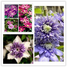 free ship clematis flowers mix, clematis plant seeds, not the clematis rooted, 30 seeds