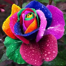 Free shipping 100 Seeds Rare Holland Rainbow Rose seed Flowers Lover colorful  Home Garden plants rare rainbow rose flower seeds