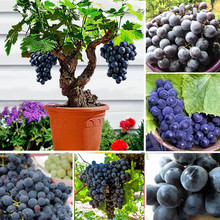 Grape seeds Black Grape Tree Seeds Grows Fruits seeds Bonsai seeds Non-GMO plants potted garden plant 50 pcs/bag(China)