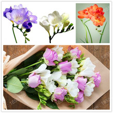 promotion freesia flower bulb rare flower plant in bonsai decoration for Home & Garden easy to plant multi-colors 2pcs/bag