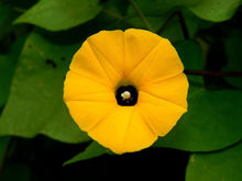 Yellow Ipomoea Obscura Morning Glory 50Seeds T006