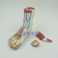 DongYun brand Foot anatomical model with hip joint, nervous system  professional  medical Science  teaching supplies