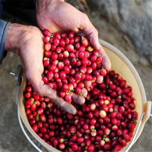 Coffee Bean Seeds, ARABICA COFFEE Plant (Coffea Catura Arabica) SEEDS 5seeds/lot