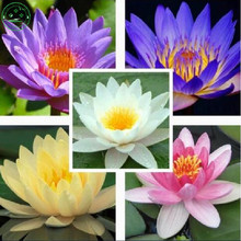 Flower seeds Bonsai seeds The lotus seed Water lily Mix Nymphaeaceae Fresh seeds Family garden free shipping 10pcs Q005