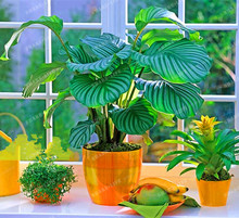 100PCS  Potted Flowers Calathea seeds seeds Balcony Bonsai Plant For Garden & Home Four Seasons planting,Easy to grow