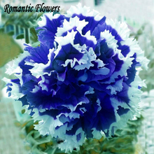 Free Shipping 50 Particle/Bag  Petunia Petals Blue With White Side Garden Home Bonsai Balcony Flower Petunia Flower Seeds