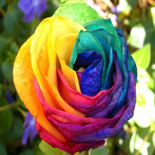 50pcs Rainbow Rose Rare Flower Seeds Home Garden Bonsai Flower Seeds Balcony Potted Colorful Rose Seeds