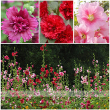 Sales promotion! hollyhock seeds, cheap flower seeds mixed color 50/lot Free shipping