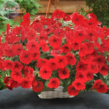 BELLFARM Dark Red Velour Petunia Seeds, Professional Pack, 200 Seeds / Pack, Cold Hardy Heat Tolerant Beautiful Flowers E3151