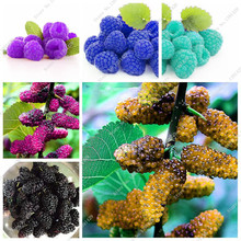 Colorful Blackberry Tree Raspberry Seed Stratified Fruit Seed Mulberry Black Berry Bonsai Non-GMO Organic Plant 500 Pcs/bag(China)