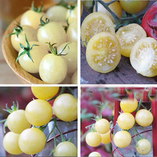 Tomato Four Seasons White Cherry Tomato Seeds Mini seeds Vegetables Balcony Bonsai 120 PCS DIY home garden plants