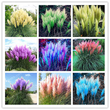 500pcs Rare Pampas Garss,Pampas Seed,Pampas Grass Plant,Ornamental Plant Flowers Cortaderia Selloana Grass Seeds for home garden