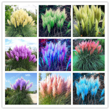 500pcs Rare Pampas Garss,Pampas Seed,Pampas Grass Plant,Ornamental Plant Flowers Cortaderia Selloana Grass Seeds for home garden(China)