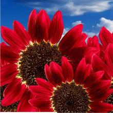 50 pcs Flowers Fortune Sunflower Fortune Sunflower Seeds Flowers Seeds Red Sun Fortune Bloom Garden Seeds Bonsai Plants Seeds