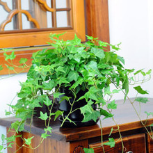 free shipping Hot selling 30pcs Hedera Helix Chinese ivy seeds DIY home garden plants in one Wholesale price(China)