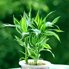 Big Sale!Rare Silver Heart Lucky Bamboo Seeds Absorb Dust Tree Seeds Anti Radiation Dracaena Home Garden,100 PCS/Lot,#1J6VYG
