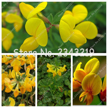 Grass seed Authentic lotaustralin root seeds Five grass A clover bird foot bean horn The golden seed mixed 100 Pcs(China)