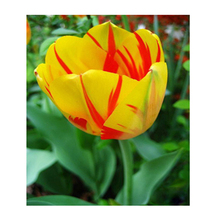Unique new yellow + red blood pattern petals tulip flowers Armenia seed potted bonsai garden courtyard terrace 120PCS(China)