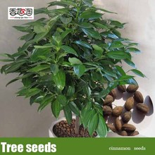Bonsai Green Tree cinnamon seeds, indoor seeds 6pcs(China)