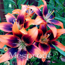 HOT Sale 100 PCS 24 Colors Lily Seeds, Cheap Perfume Lilies Seeds, Rare Color Flower Garden Plant - Mixing Different Varieties(China)