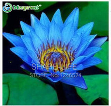 Water Lilies seeds, water lily seeds, Bowl lotus seeds - 5 seeds(China)