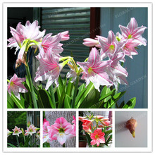 Buy True Pink Hippeastrum Rutilum Bulbs, (Not Hippeastrum Rutilum Seeds),Amaryllis Flowers Symbolizes Love, Flower Plant -2 Bulbs for $1.49 in AliExpress store