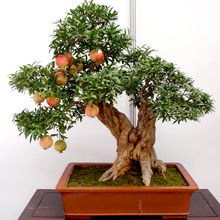 50 pcs/lot bonsai pomegranate seeds very sweet Delicious fruit seeds succulents Tree seeds(China)