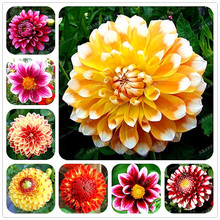 10pcs Gorgeous Rare Rainbow Dahlia Seeds, Chinese Peony Bonsai Flower Seeds 24 Colors to Choose for Home Garden Plantting