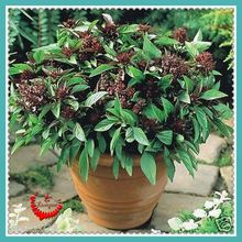 200 Attractive Impressive Basil Thai Siam Queen Seeds Cooking Herbs Home Garden Bonsai Plant(China)