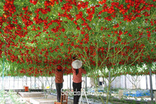 New Fresh Seeds 50 Pcs ITALIAN TREE TOMATO Seeds 'Trip L Crop' Seeds *Comb S/H Free shipping,#JKR17M(China)